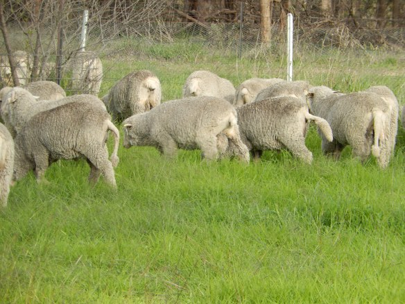 2014 Sheep lifting it's tail. An experiment we began where all sheep would be able to keep their tails