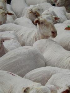 2014 sheep freshly shorn