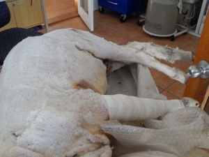 2014 sheep under psychic anaesthesia while having a broken leg set