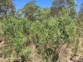 Australian Wattles