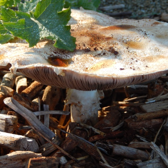 Fungi in debosia