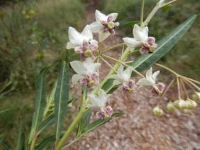 Wild cotton flower